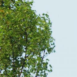 3-m-Maibaum frischgrün
